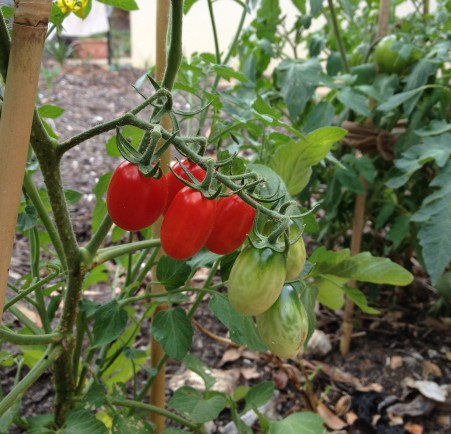 mini roma tomatoes
