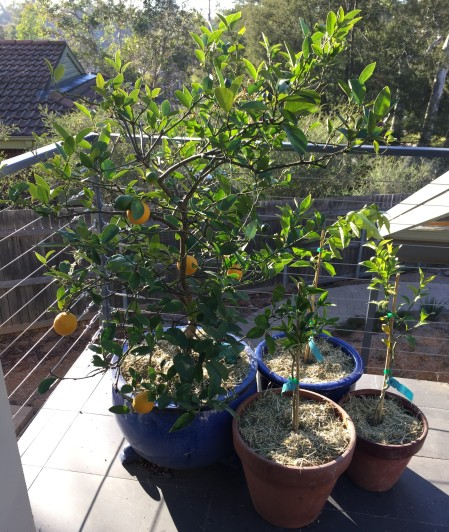 citrus in pots