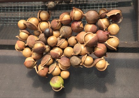 drying macadamias