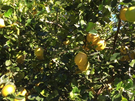 lemonade fruit tree