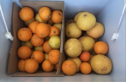 grapefruit, oranges, lemons and lemonade fruit from my parents' garden